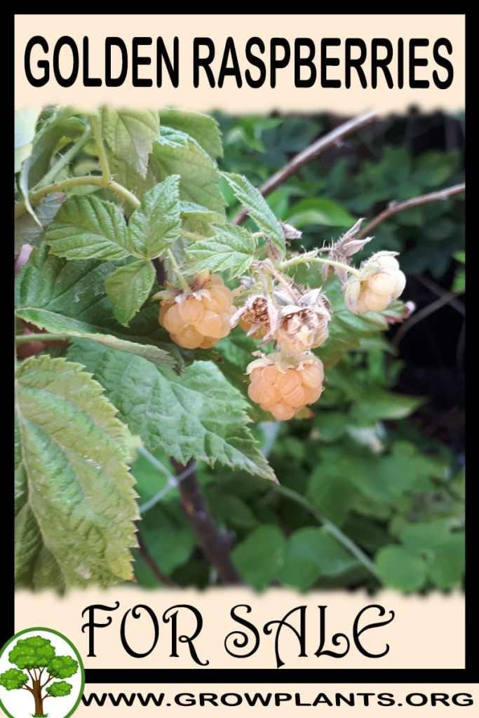 Golden raspberries for sale