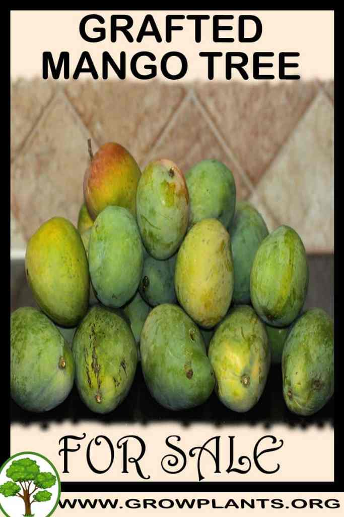 Grafted mango tree for sale