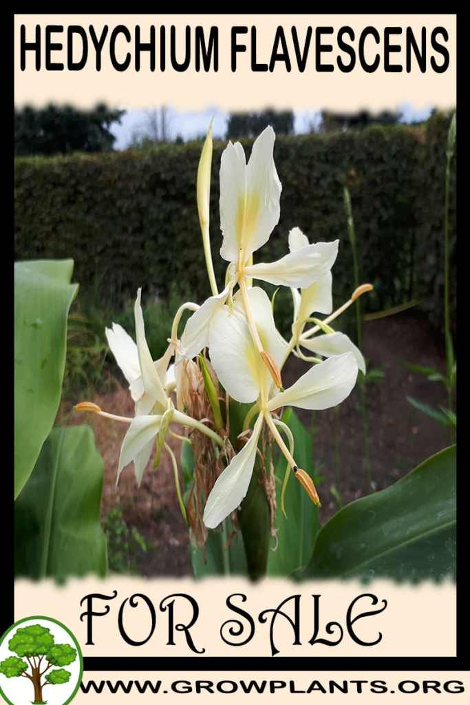 Hedychium flavescens for sale