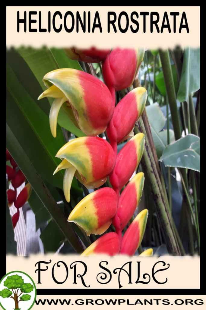 Heliconia rostrata for sale