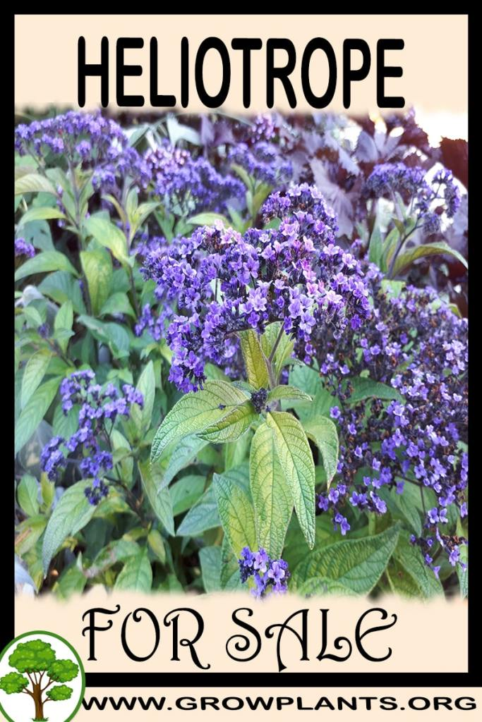 Heliotrope for sale