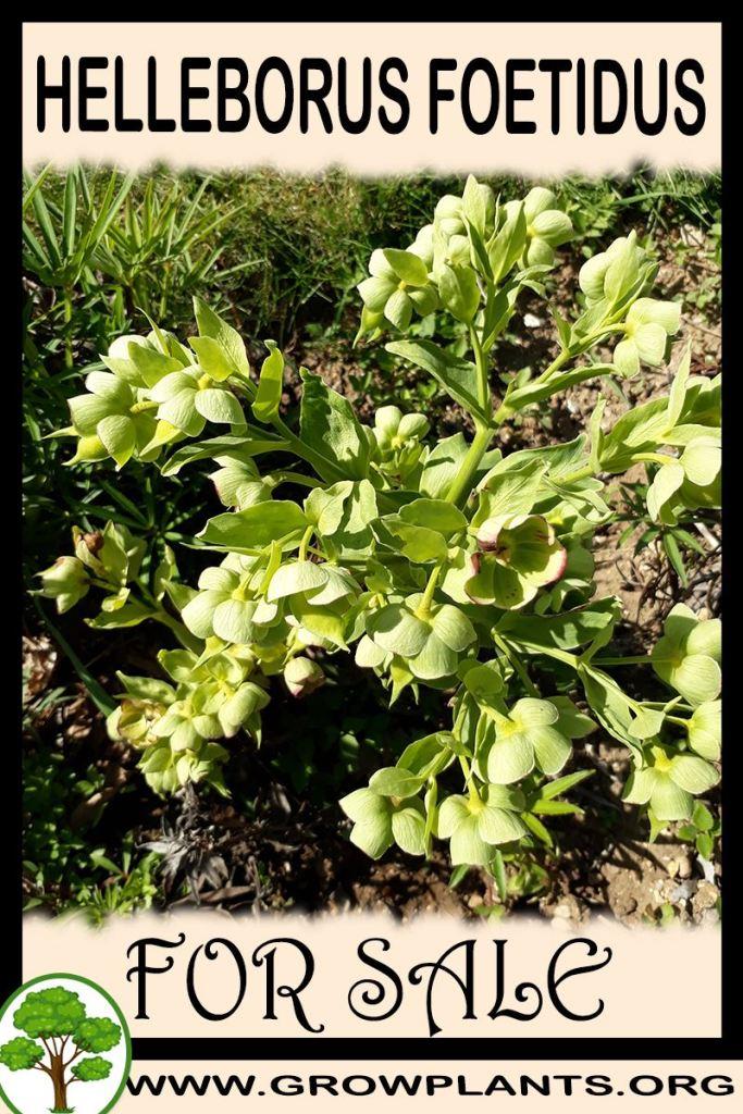 Helleborus foetidus for sale