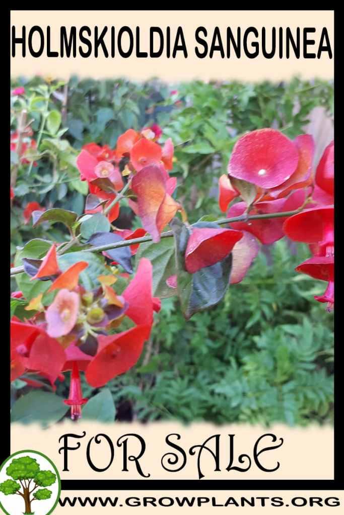 Holmskioldia sanguinea for sale