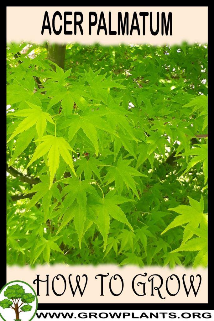 How to grow Acer palmatum