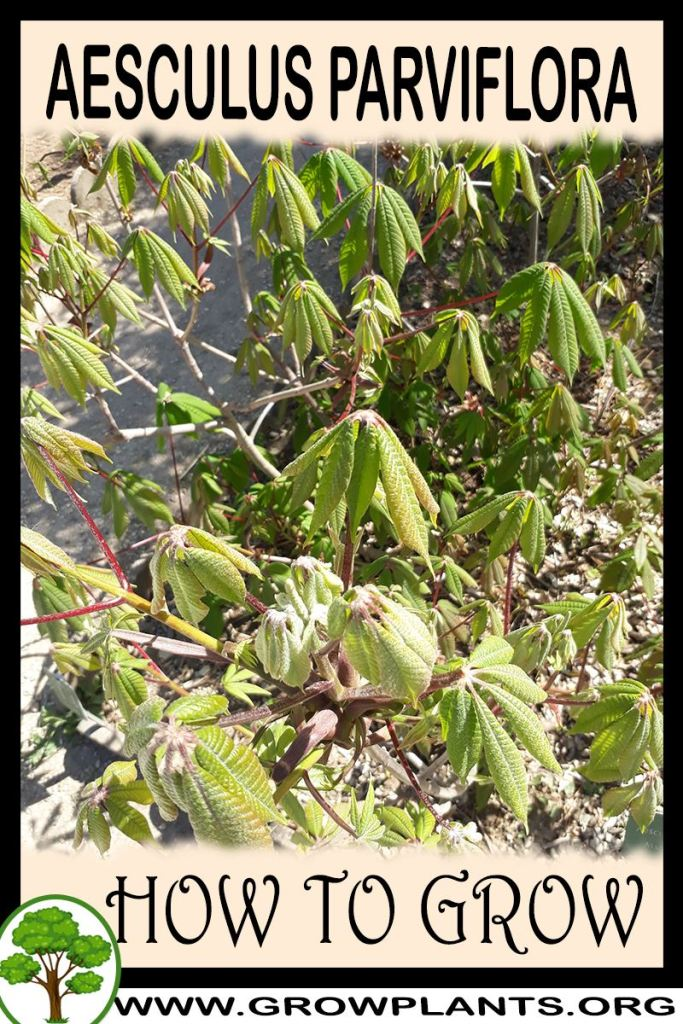 How to grow Aesculus parviflora