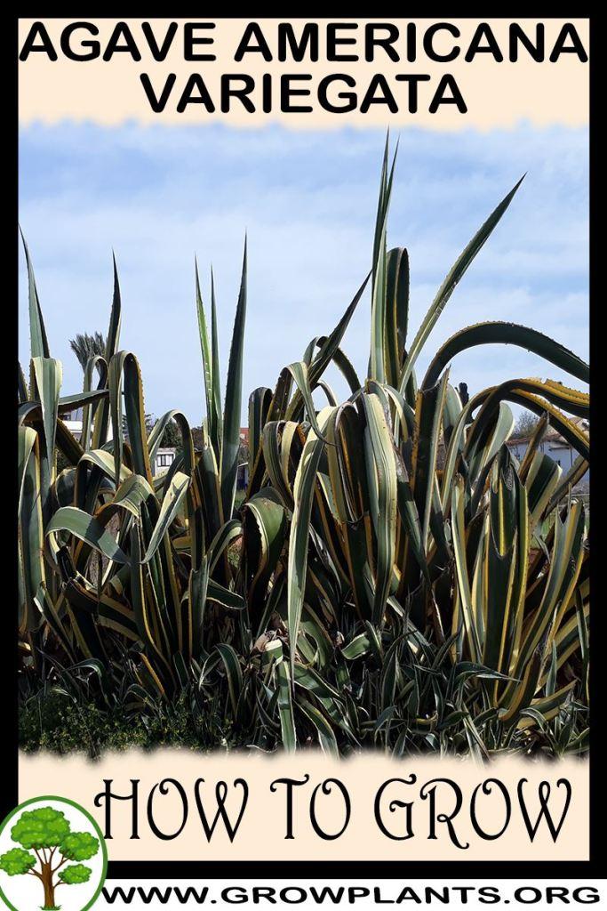 How to grow Agave americana Variegata