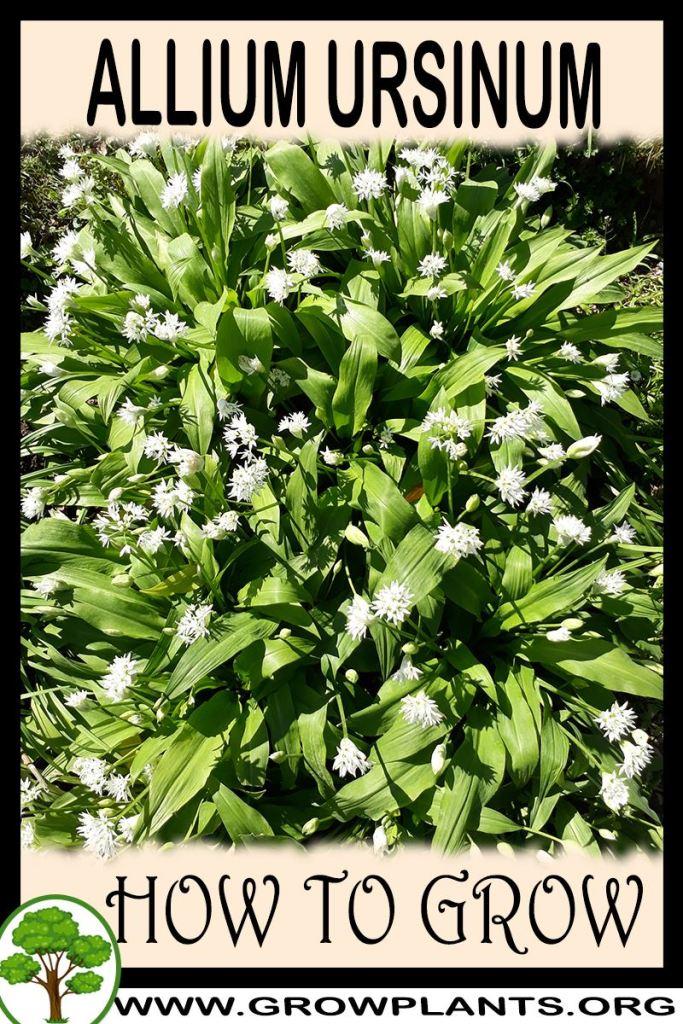 How to grow Allium ursinum