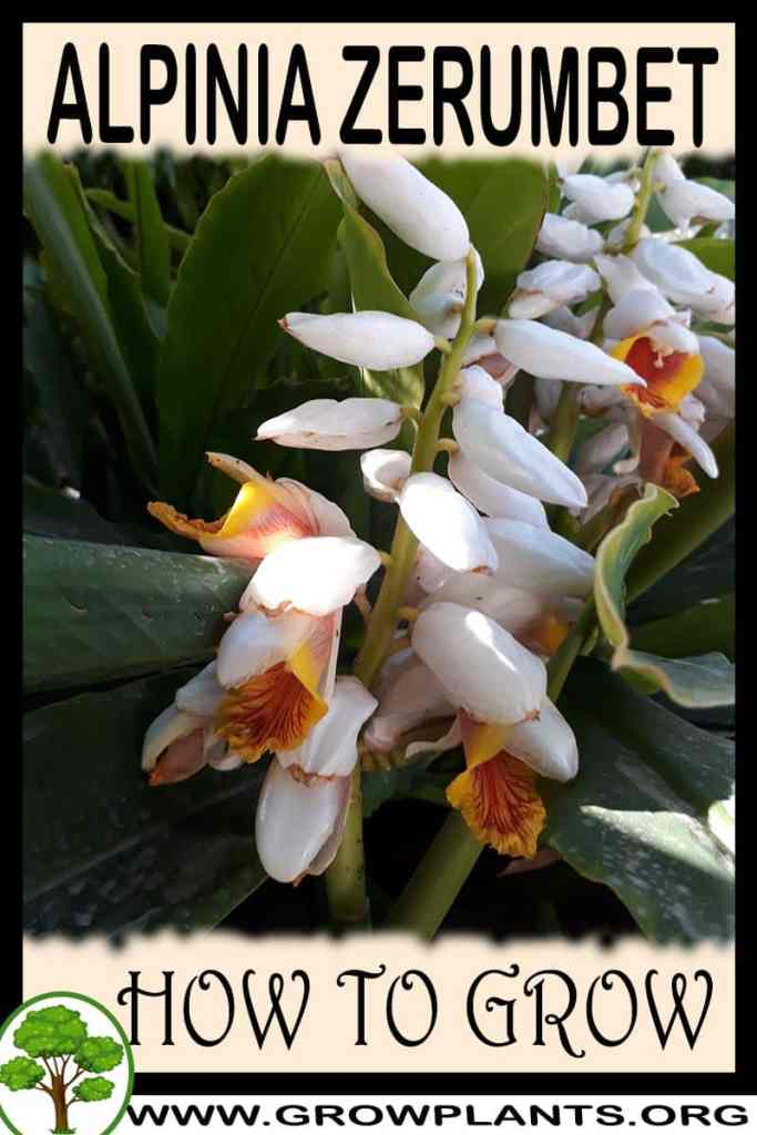 How to grow Alpinia zerumbet