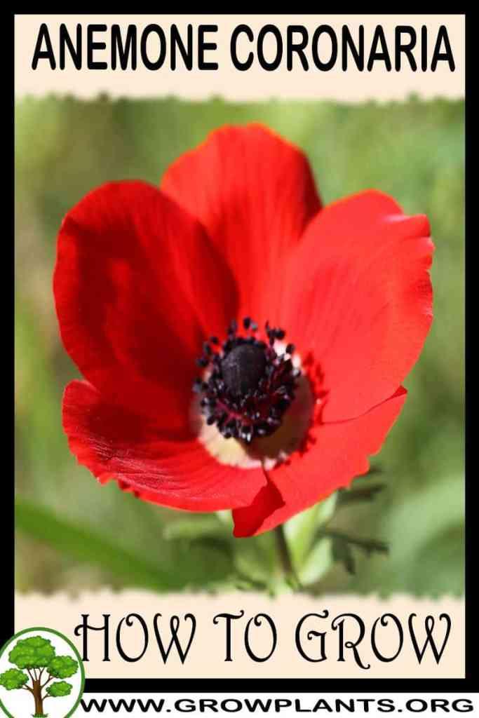 How to grow Anemone coronaria