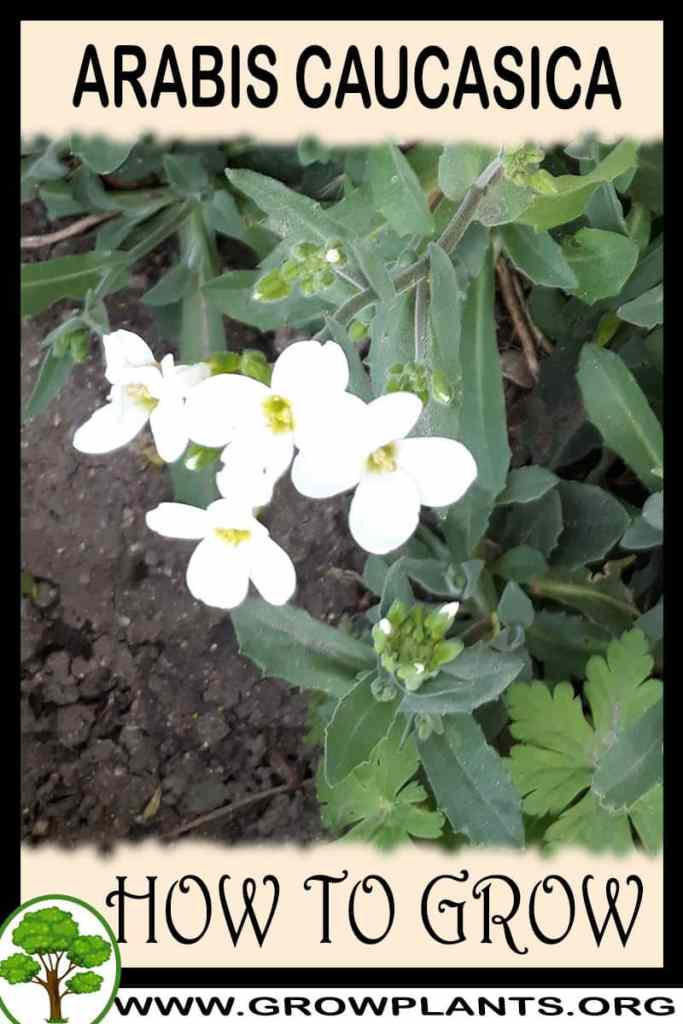 How to grow Arabis caucasica