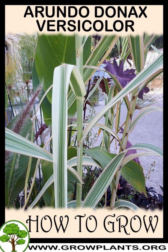 How to grow Arundo donax versicolor