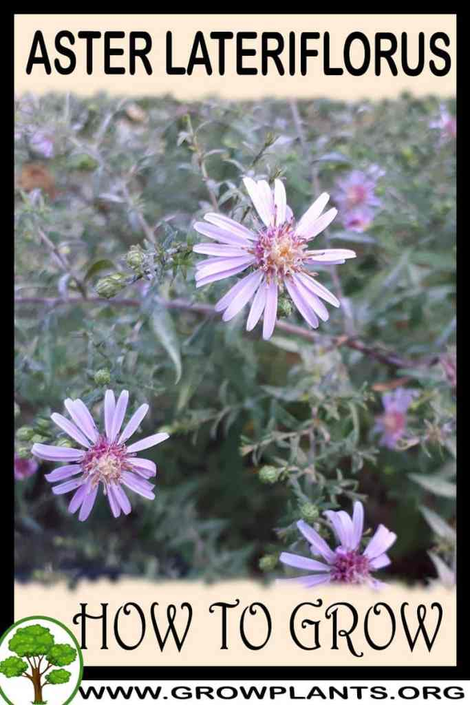 How to grow Aster lateriflorus