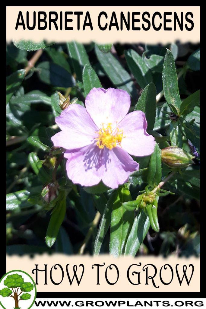 How to grow Aubrieta canescens