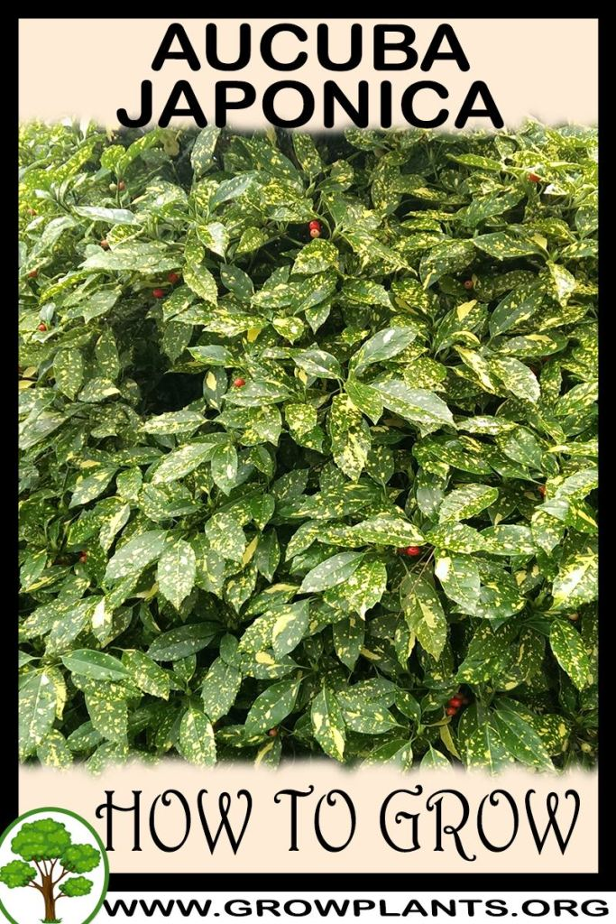 How to grow Aucuba japonica