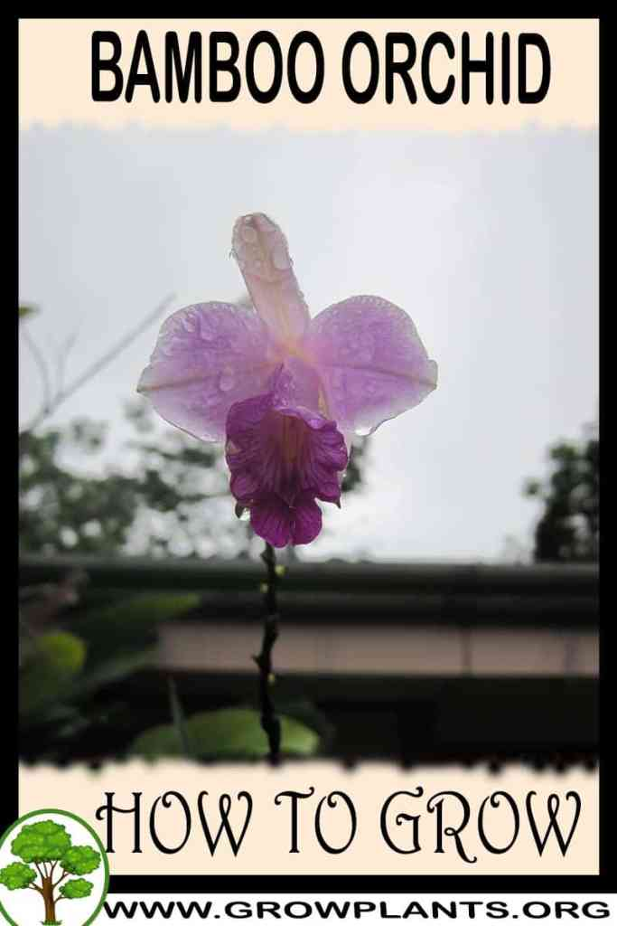 How to grow Bamboo orchid