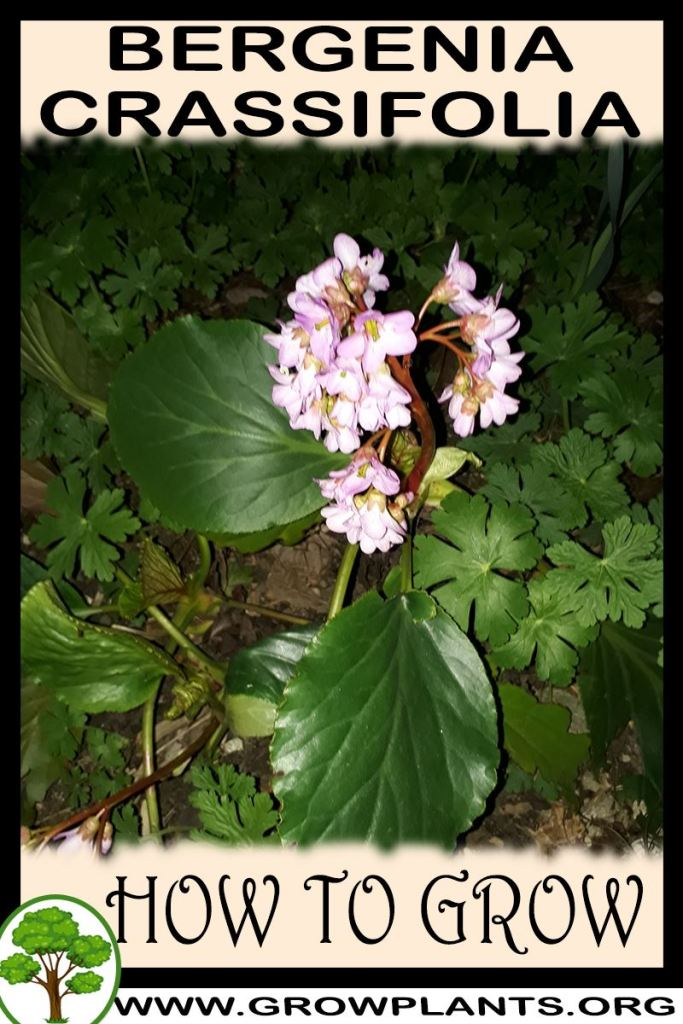 How to grow Bergenia crassifolia