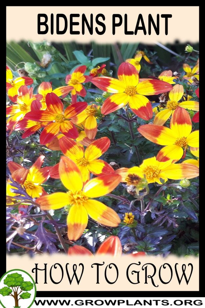 How to grow Bidens