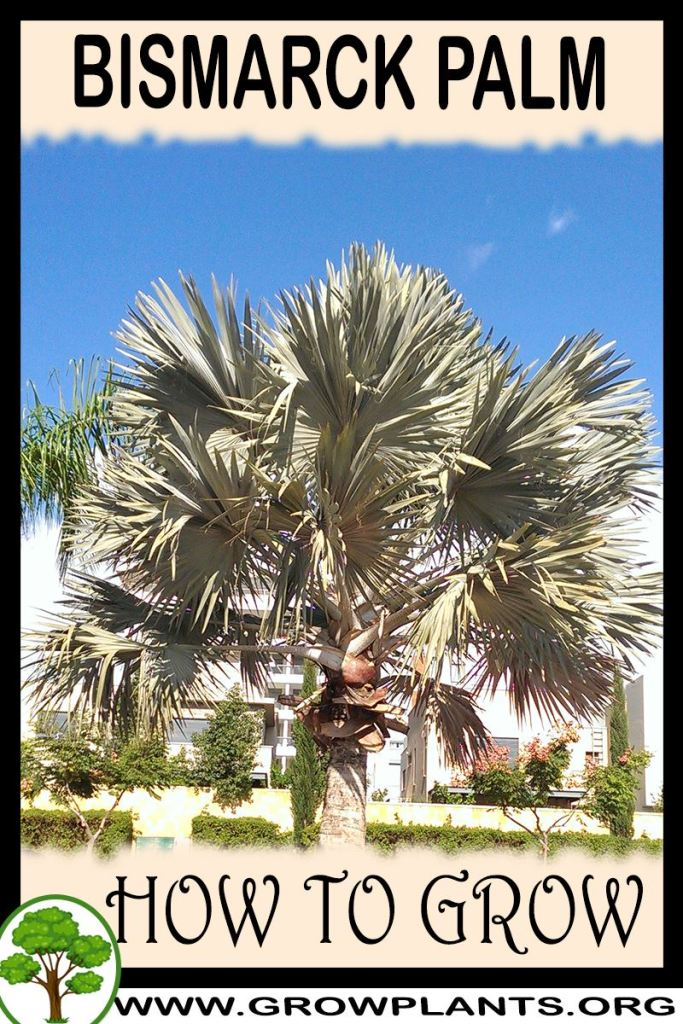 How to grow Bismarck palm