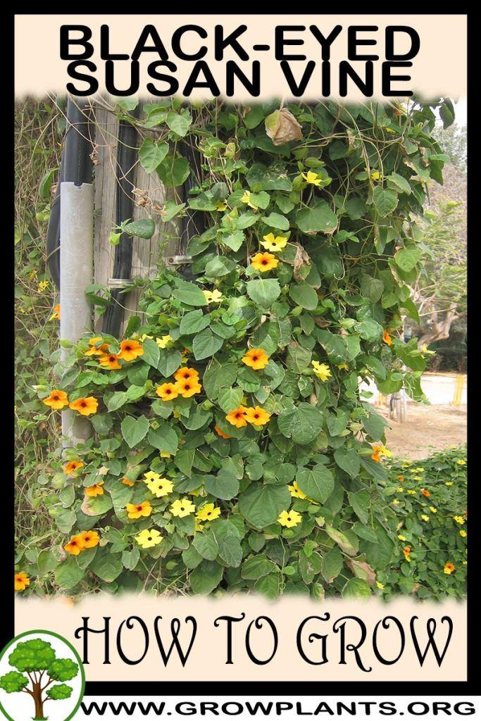 How to grow Black eyed susan vine