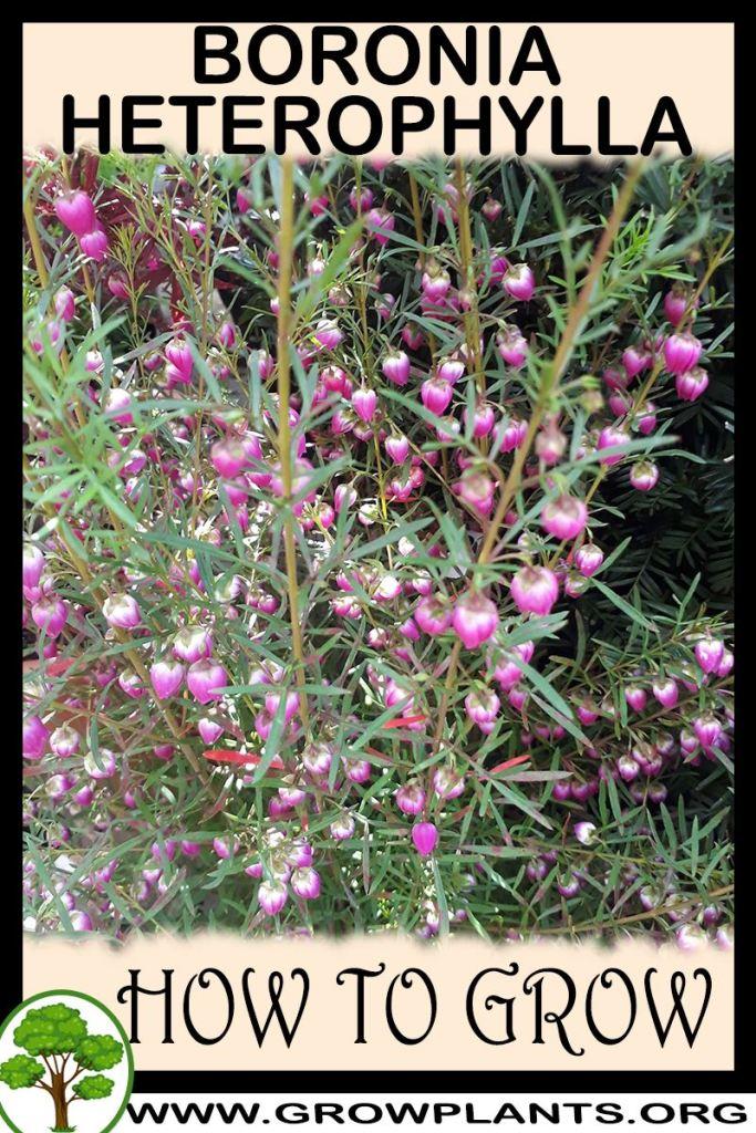 How to grow Boronia heterophylla