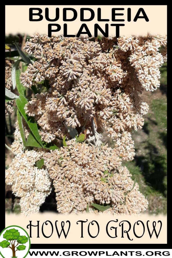 How to grow Buddleia plant