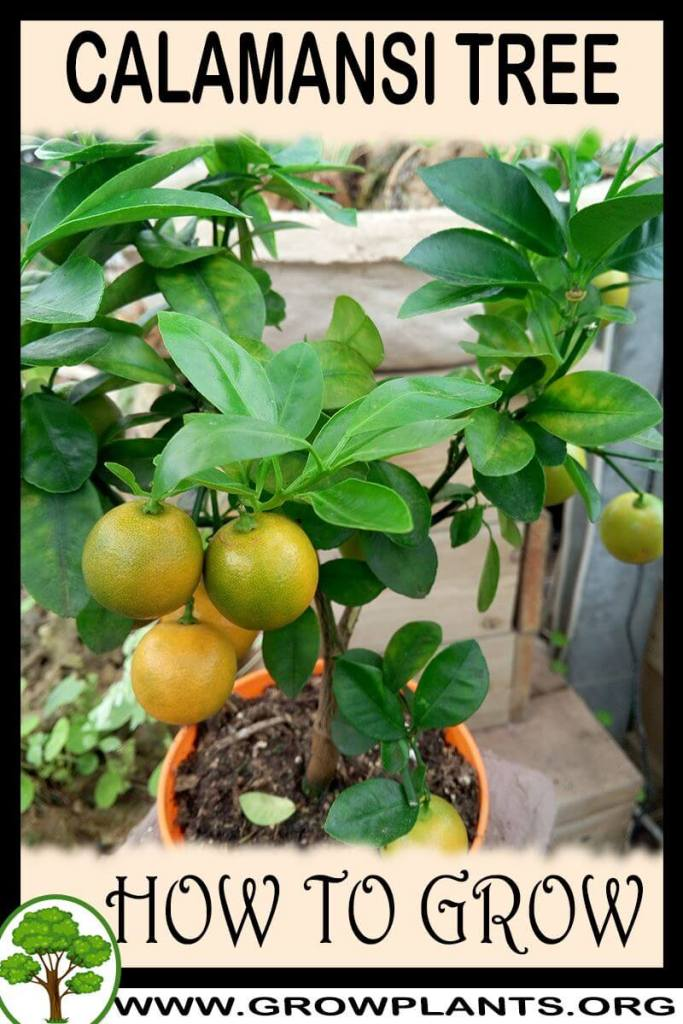 How to grow Calamansi