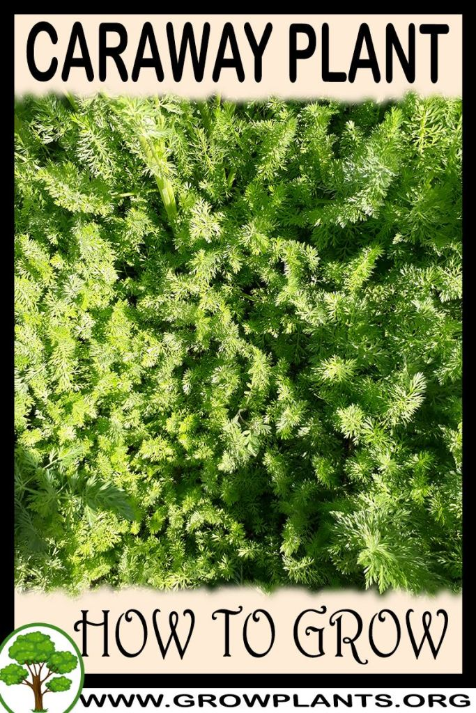 How to grow Caraway plant