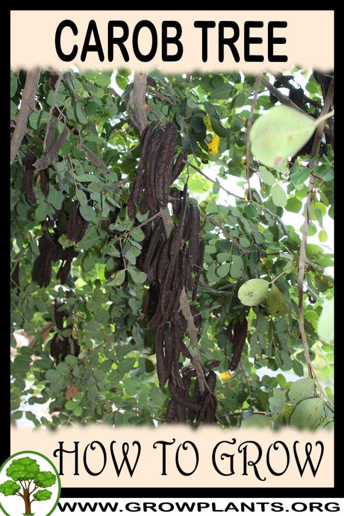 How to grow Carob tree