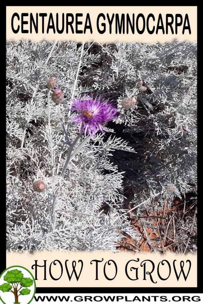 How to grow Centaurea gymnocarpa