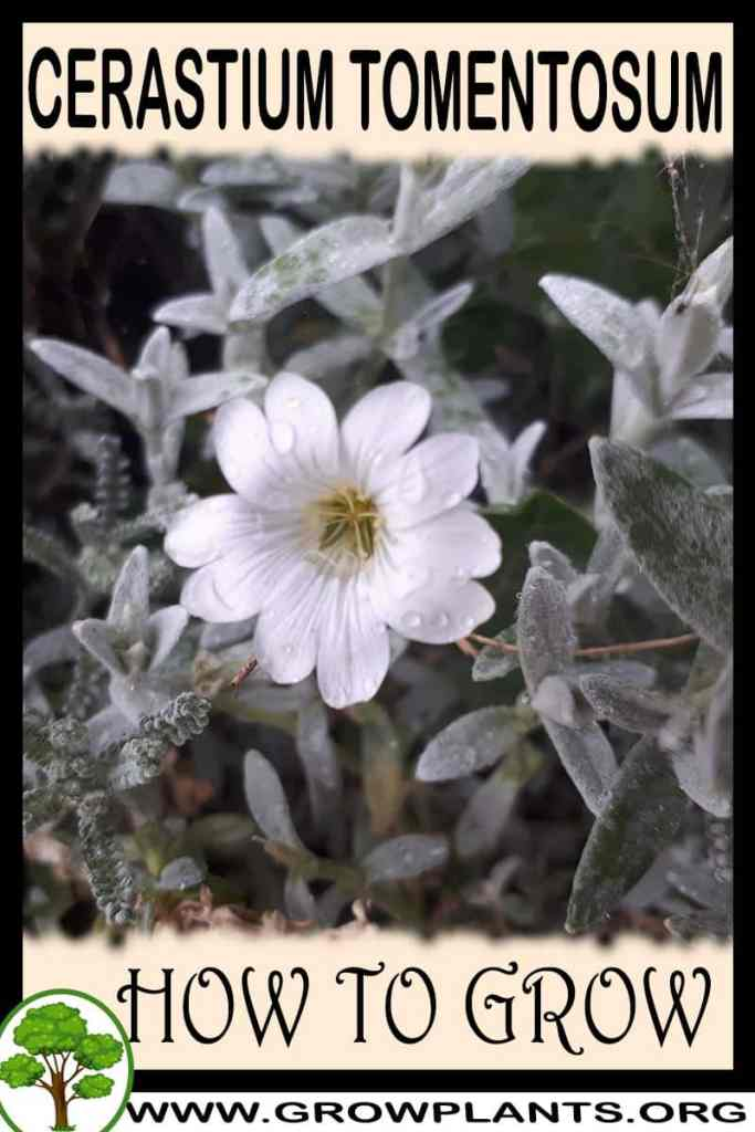 How to grow Cerastium tomentosum