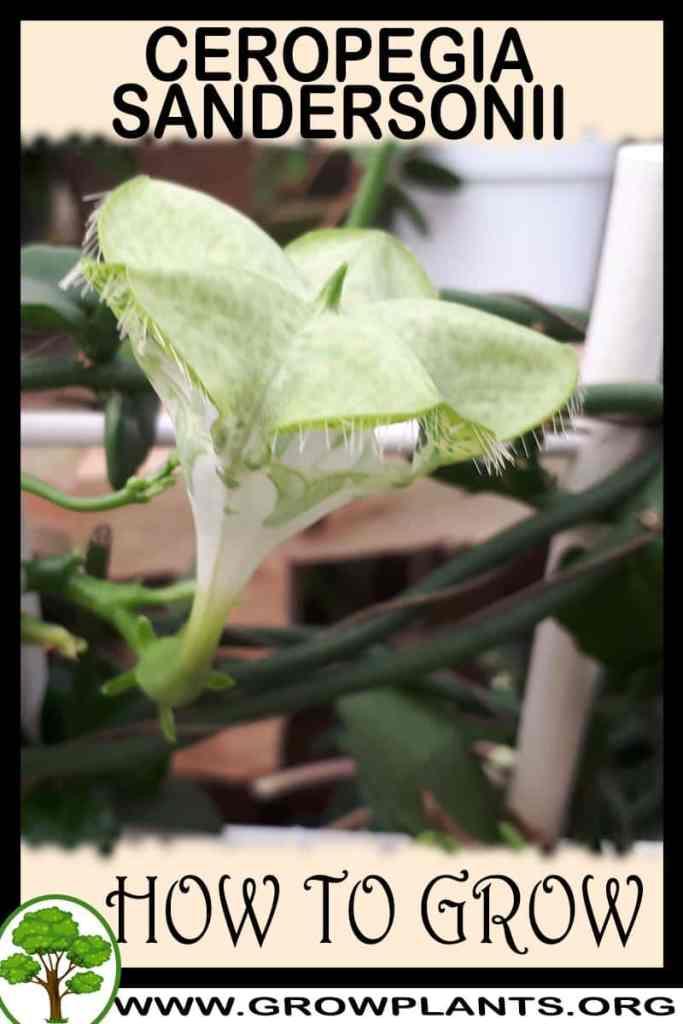 How to grow Ceropegia sandersonii