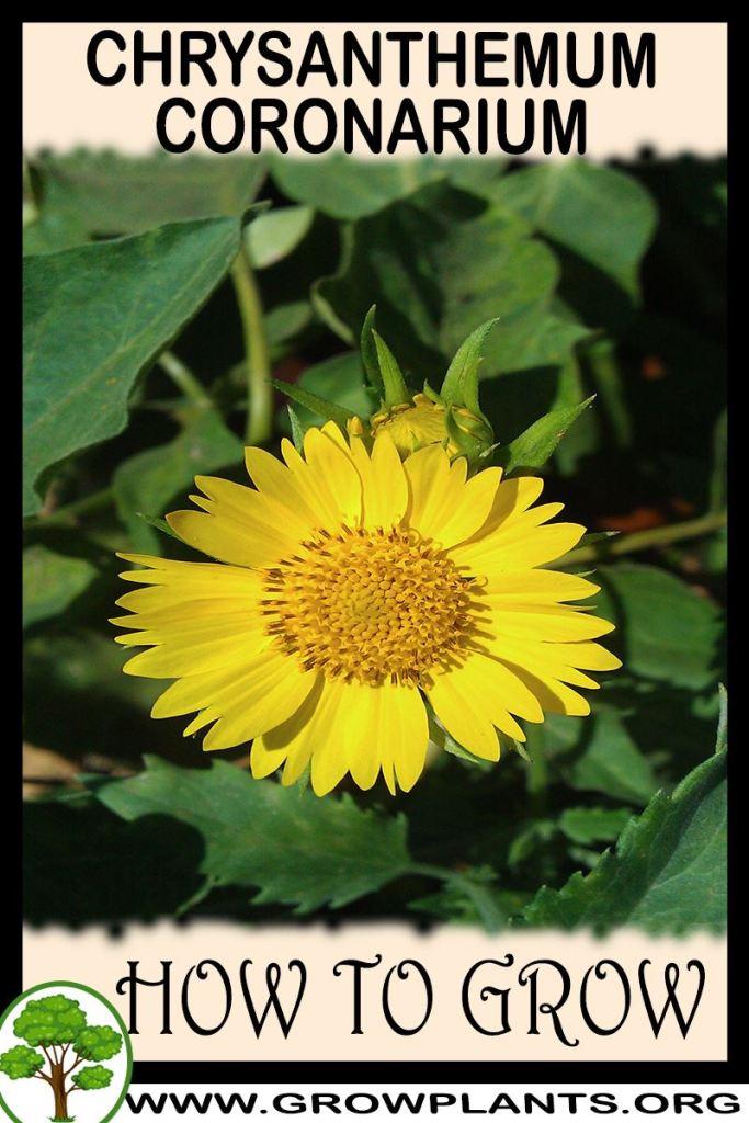 How to grow Chrysanthemum coronarium