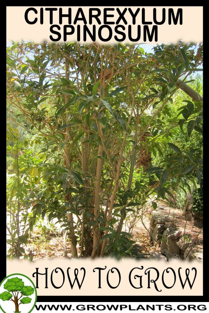 How to grow Citharexylum spinosum