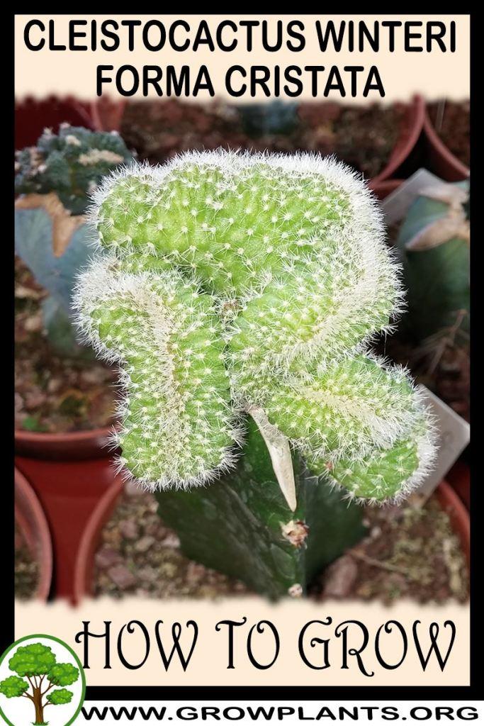 How to grow Cleistocactus winteri forma cristata