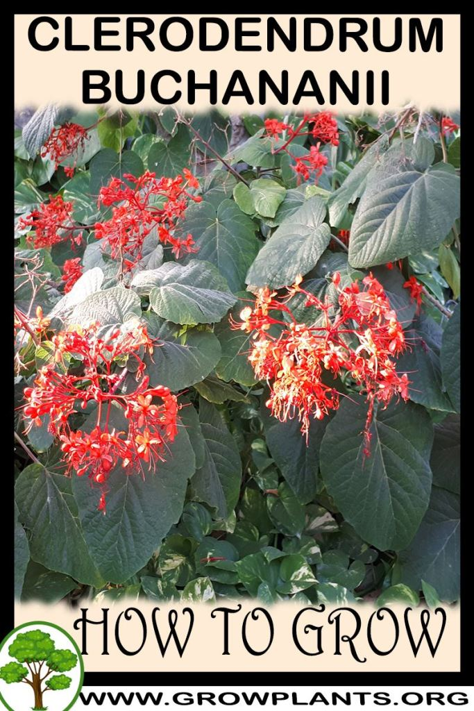 How to grow Clerodendrum buchananii