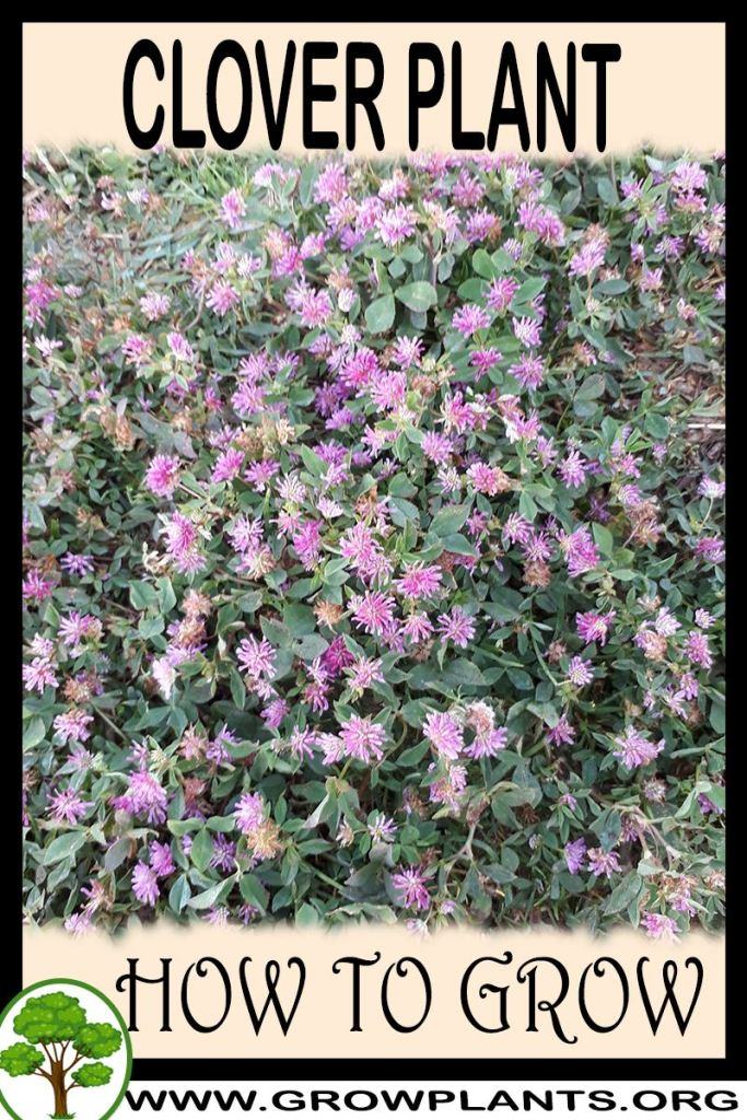 How to grow Clover plant