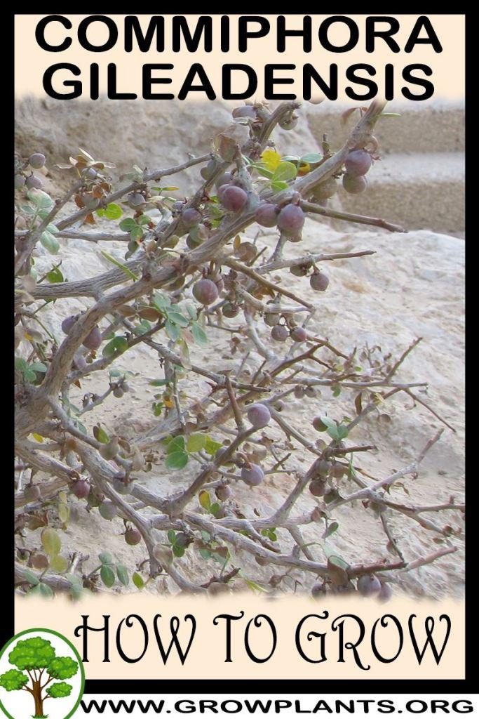 How to grow Commiphora gileadensis