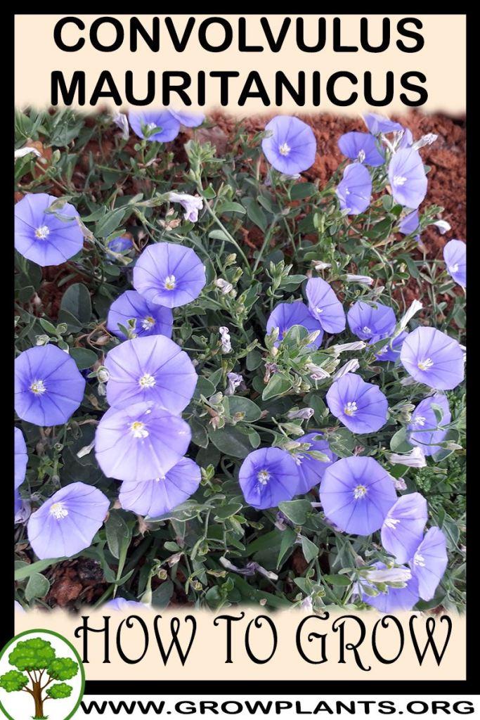 How to grow Convolvulus mauritanicus
