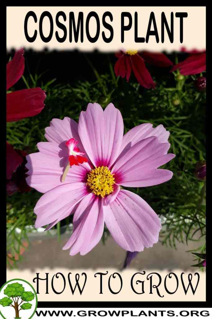 How to grow Cosmos plant