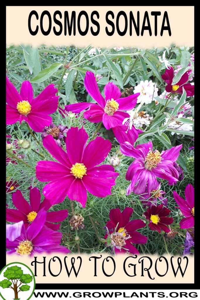How to grow Cosmos sonata