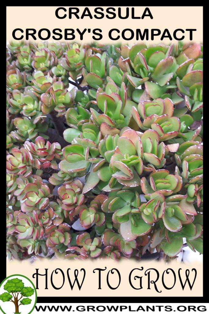 How to grow Crassula crosby's compact