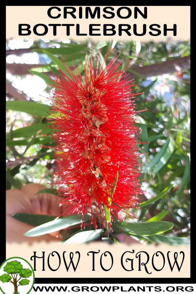 How to grow Crimson bottlebrush