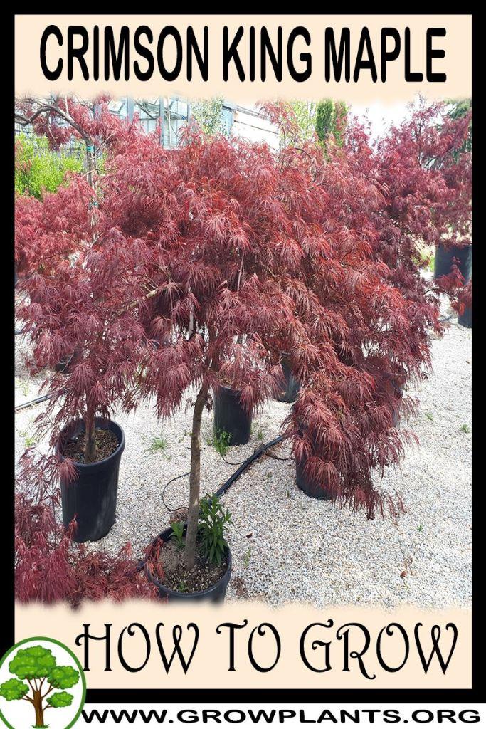 How to grow Crimson king maple