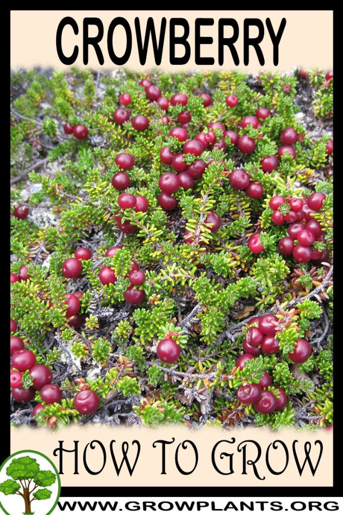 How to grow Crowberry