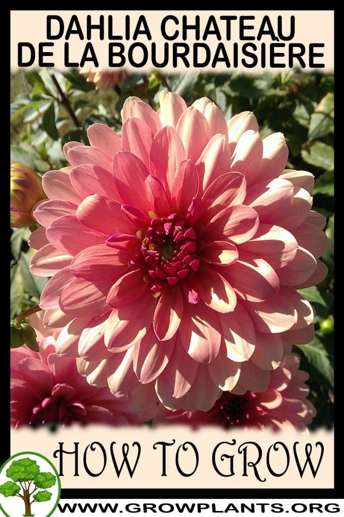 How to grow Dahlia Chateau de la bourdaisiere