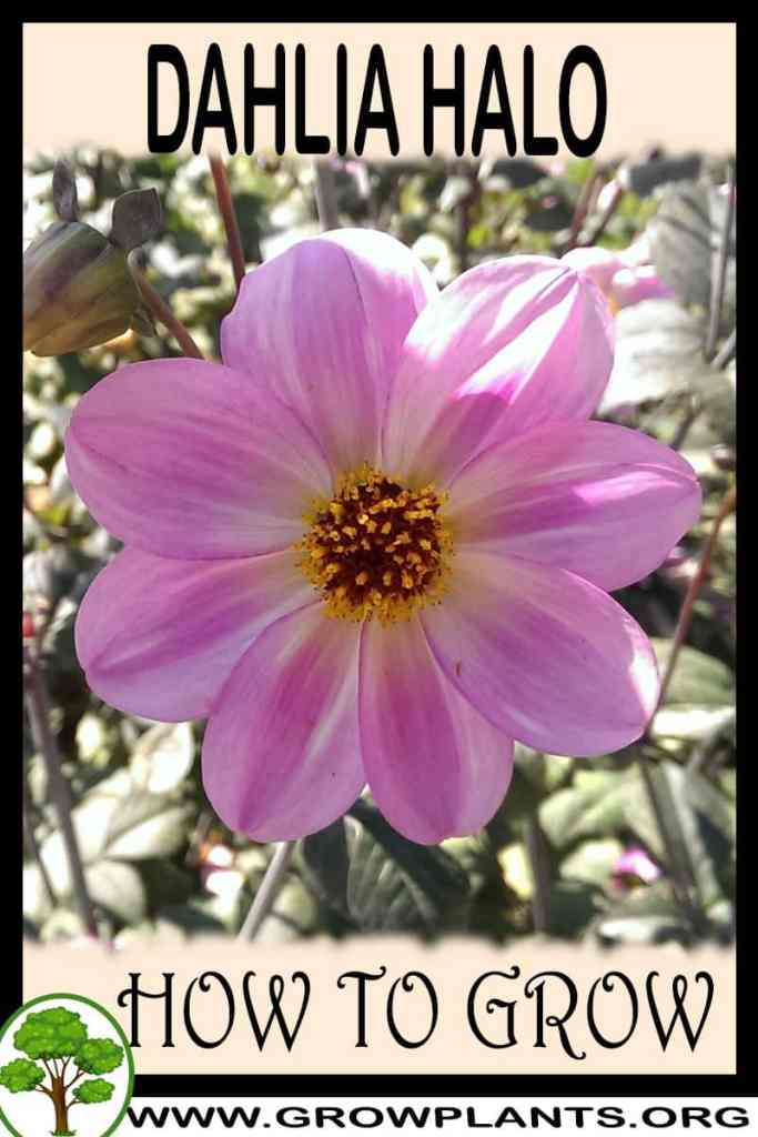 How to grow Dahlia Halo