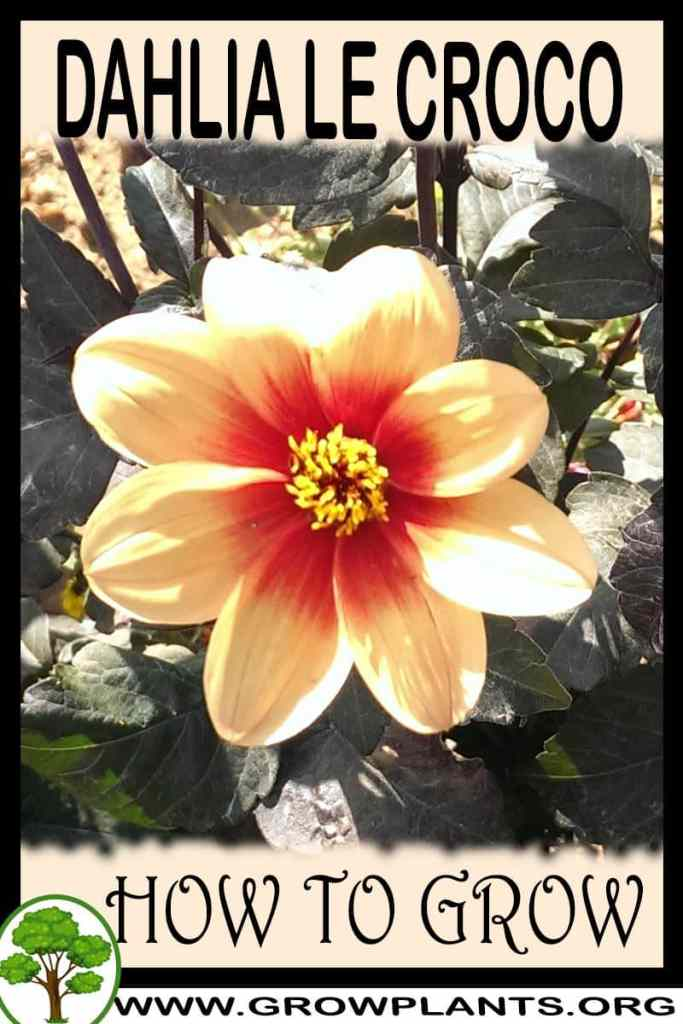 How to grow Dahlia Le croco