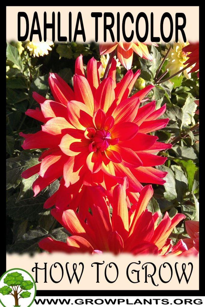 How to grow Dahlia Tricolor