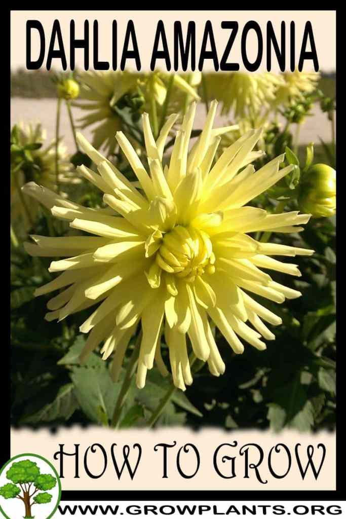 How to grow Dahlia amazonia