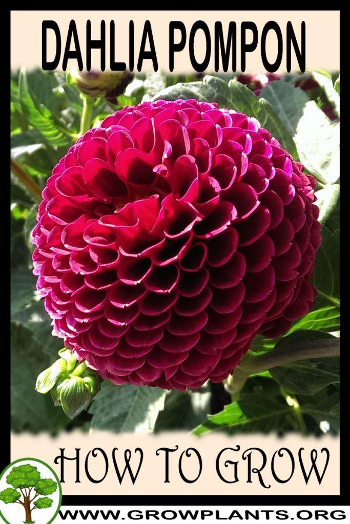 How to grow Dahlia pompon